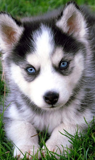 Cute Puppy Husky Puzzle