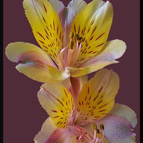 Pair of Alstromeria by Diana Postill - Flowers Flower Arangements ( alstromeria, macro, nature, bloom, flower )