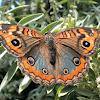 Buckeye Butterfly.