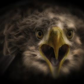 Angry Eagle by Johny Truyell - Digital Art Animals (  )