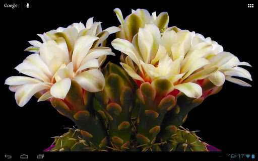 免費個人化App|Blooming Flower Cactus Buds|阿達玩APP