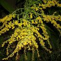 Garden bedstraw / Sanzaiana de gradina