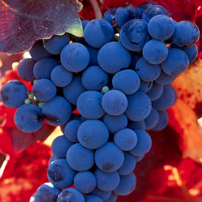 Grapes against red vine leaves by Gale Perry - Nature Up Close Leaves & Grasses ( , fall, color, colorful, nature )