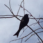 Forked tailed drongo