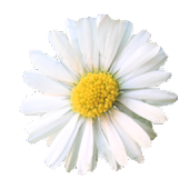 Daisy Live Wallpaper
