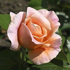 Pretty In Pink by Howard Mattix - Flowers Single Flower ( single flower, roses, flower gardens, pink, flowers,  )