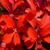 Gitanilla, Geranio hiedra (flor sencilla)