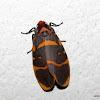 Erebidae-Arctinae