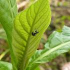 Ant mimick hopper