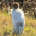 Wood Stork (immature)