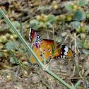 Plain Tiger, African Monarch