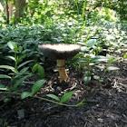 False Death Cap Mushroom