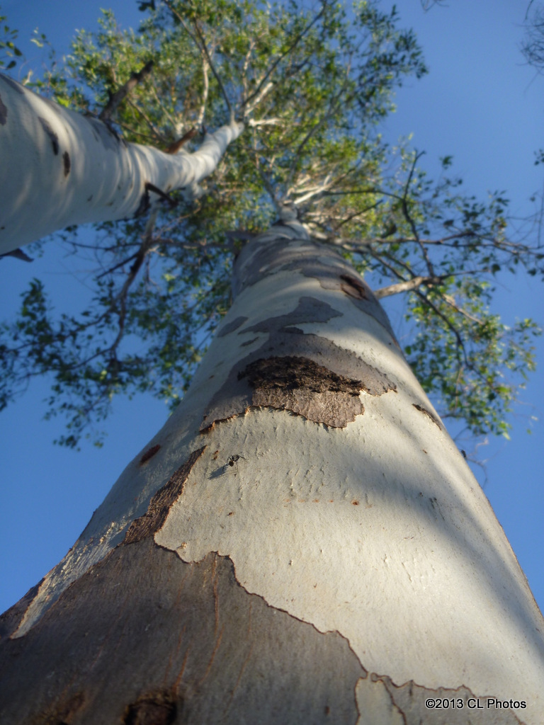 Red Gum (Eucalyptus)