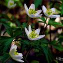 wood anemone, zawilec gajowy