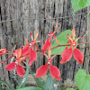 Renanthera Orchid
