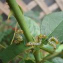 Gooseberry Sawfly Larvae