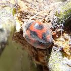 Mariquita Rodolia. Cardinal ladybird