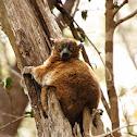 Zombitse (formally Hubbard's) sportive lemur