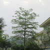 Silk Cotton Tree (Chinese Kapok)