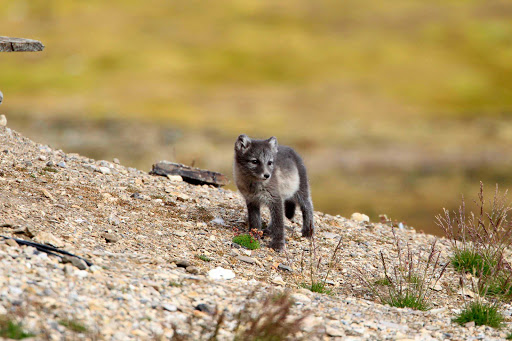 Svalbard-arctic-fox-pup-2 - Go into the wild when the Hurtigruten Fram takes you to some of the remote arctic islands of Svalbard where you see local wildlife. This looks like an arctic fox pup, no?