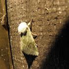 lder Moth