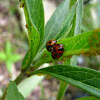 Australian lady beetles (mating)