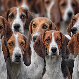 by Michael Milfeit - Animals - Dogs Portraits ( natural light, breed, domestic dog, meute, pack, cute, hunde, natural background, adorable dogs, foxhunting, mamal, beagle, animal )