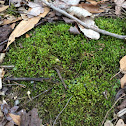 Common Moss