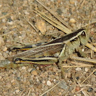 Two-lined grasshopper