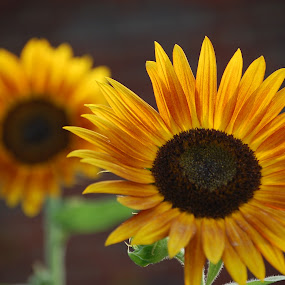 Sunflowers by Angel Harvey - Novices Only Flowers & Plants ( orange, pairs, sunflower, yellow, flowers,  )