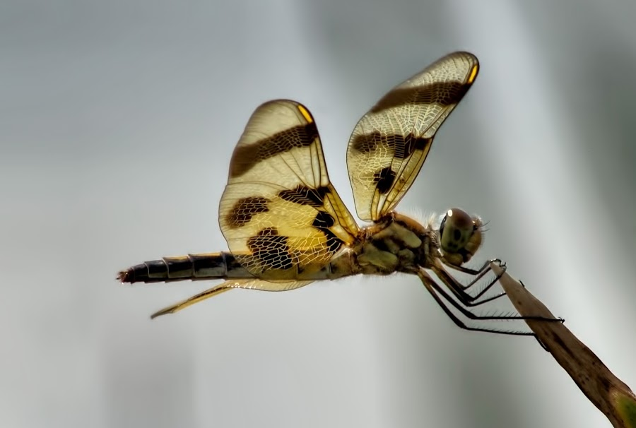 Golden Dragon by Marjorie Etten Moeller - Animals Insects & Spiders ( dragon fly, yellow, gold, insect )