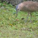 黑冠麻鷺 / Malayan Night Heron