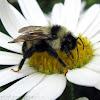 Lemon Cuckoo Bumble Bee