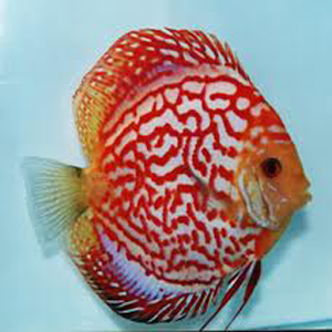 Discus Fish Lover   Android Apps on Google Play