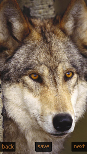 Inspic Wolfs Wallpapers HD