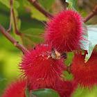 Achiote or Lipstick Tree