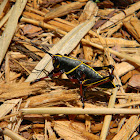 Eastern Lubber Grasshopper Nymph