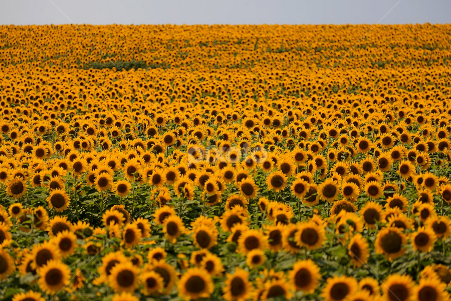 Sunflower army by Viorel Stanciu - Flowers Flowers in the Wild ( sunflowers, agriculture, sunflower, flowers, sun,  )