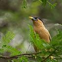 Brahminy Myna or Brahminy Starling