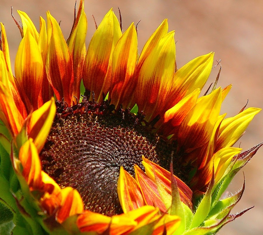 Grand Champion by Sherri Woodbridge - Flowers Single Flower ( bronze, single flower, backyard garden, sunflower, gardens, beauty, flowers, garden, , Hope )