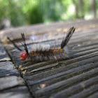 White-marked tussock moth (Larvae)