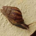 Gaint African Land Snail