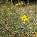 Yellow Spiny Daisy
