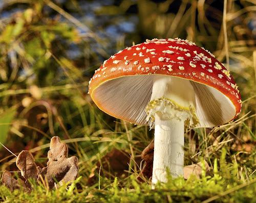 Fly agaric  by Keith Bannister - Nature Up Close Mushrooms & Fungi ( mushroom, flay agaric., nature, wildlife, shrooms )