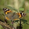 Asian Admiral or Indian Red Admiral