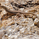 Plateau Striped Whiptail