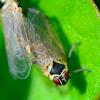 Little Cicadomorpha