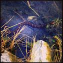 Northern, Midland Water snake
