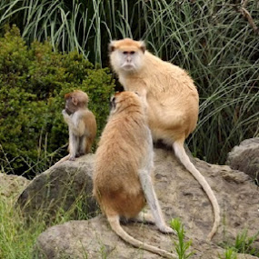 Monkey Family by Nikki Kean - Animals Other Mammals ( baby monkey, zoo, monkeys, family, baby )