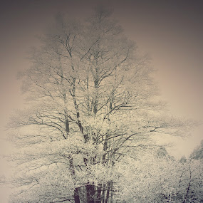 Blanka by Kajsa Karlsson - Landscapes Prairies, Meadows & Fields ( sweden, winter, tree, snow, path, grey, labrador, dog, gray, reeds, , nature, landscape )